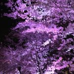 帰国一週間。桜。入社10年目。